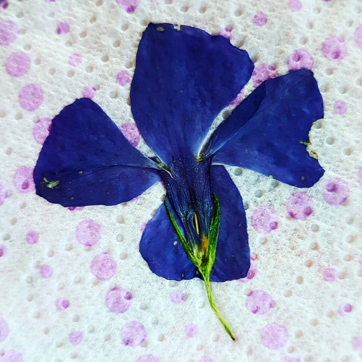 gedroogd viooltje