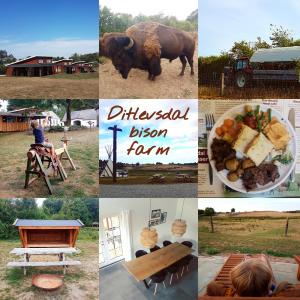 Ditlevsdal Bisonfarm: op bisonsafari of zelfs slapen tussen de bizons