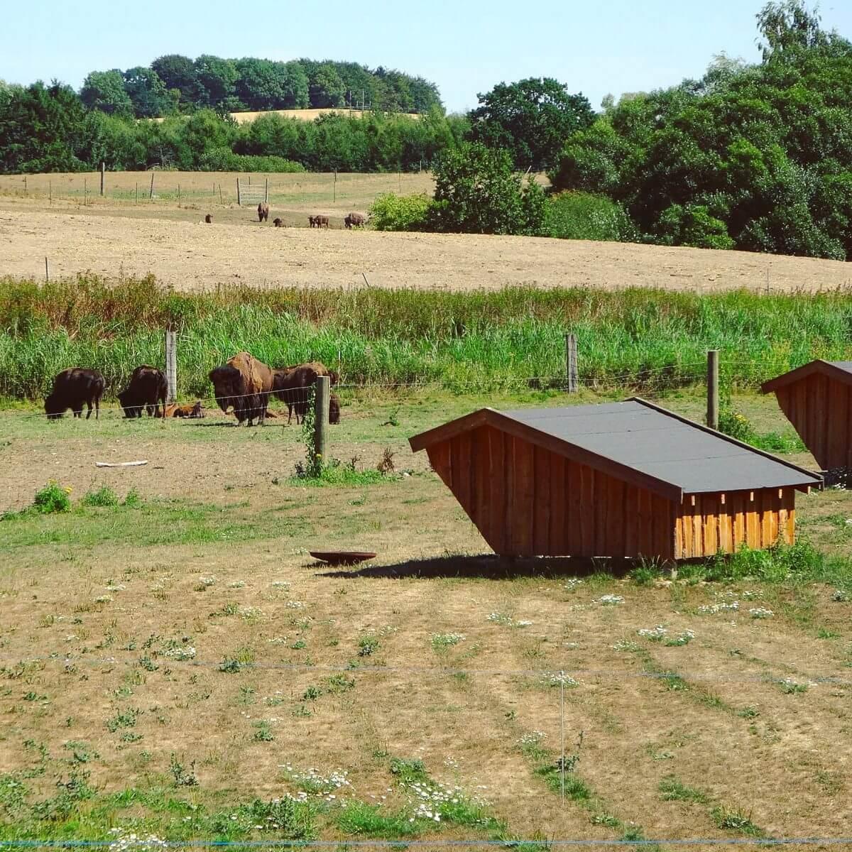 Ditlevsdal Bisonfarm: op bisonsafari of zelfs slapen tussen de bizons, op het eiland Funen in Denemarken, slapen in de openlucht in een shelter #leukmetkids #vakantie #kinderen