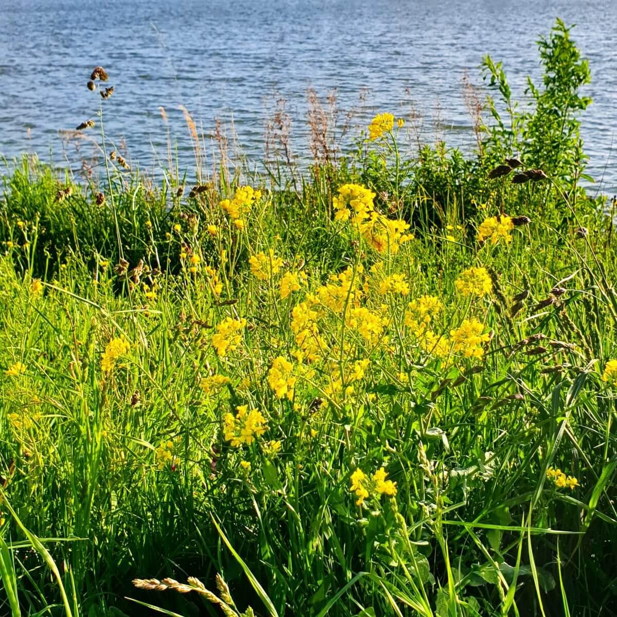 bijen hebben wilde bloemen nodig, je kunt bij Oerrr een actiepakket Natuurmonumenten wilde bloemen aanvragen