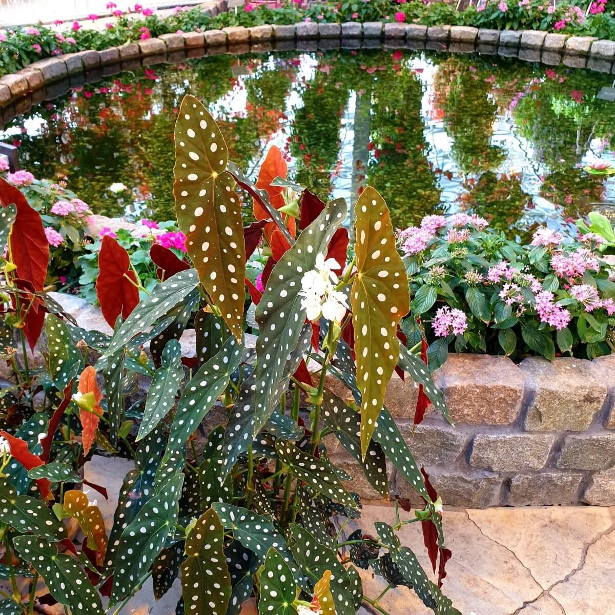 stippenplant polkadot begonia oftwewel begonia maculata