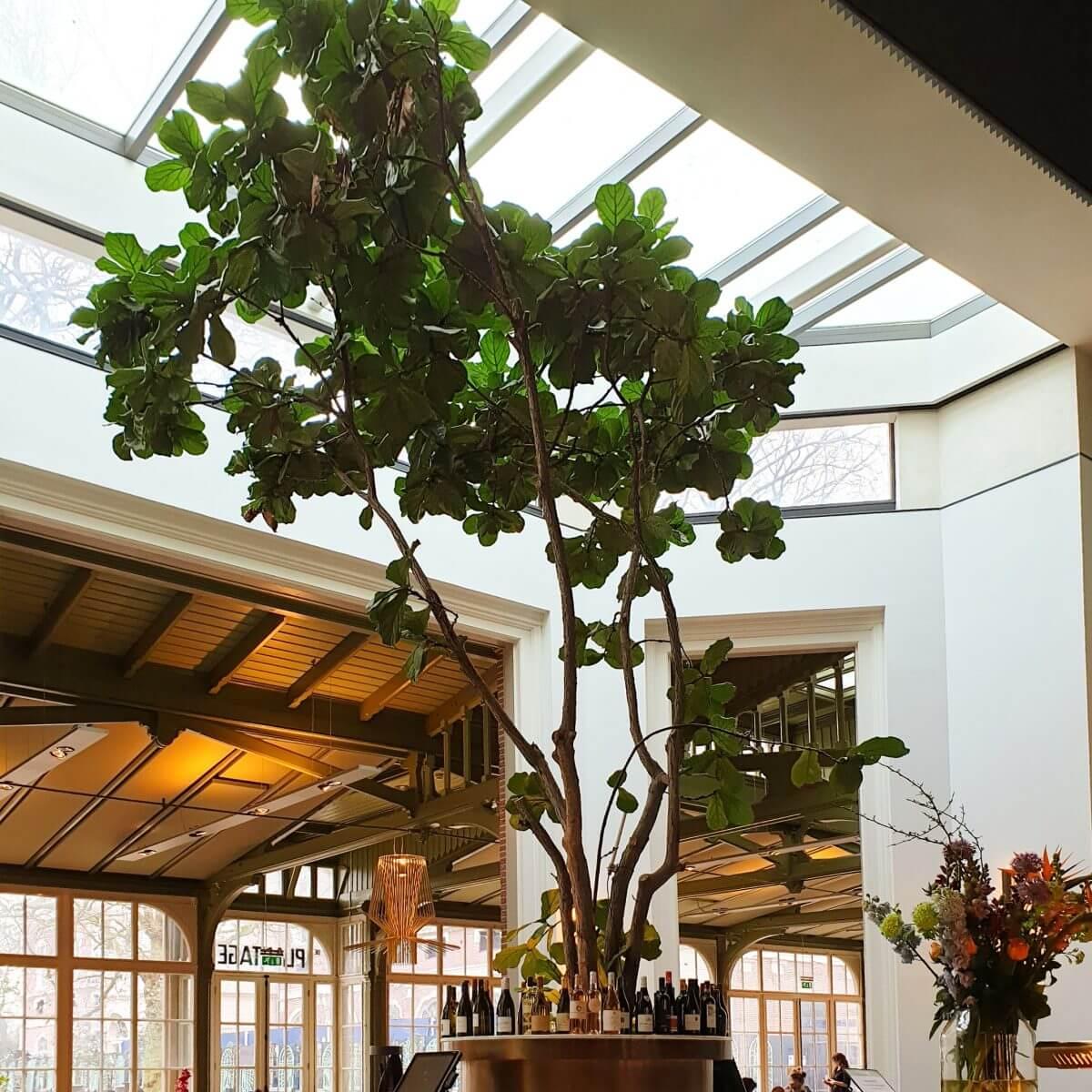 de vijgenboom in De Plantage